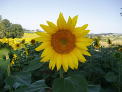 Fields of sunflowers abound in summer